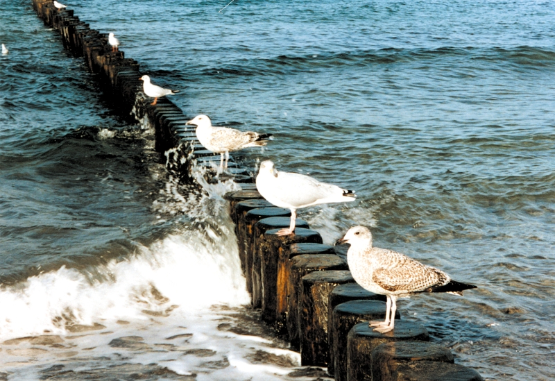 Vögel an der Ostsee - Möwenarten an der Ostsee