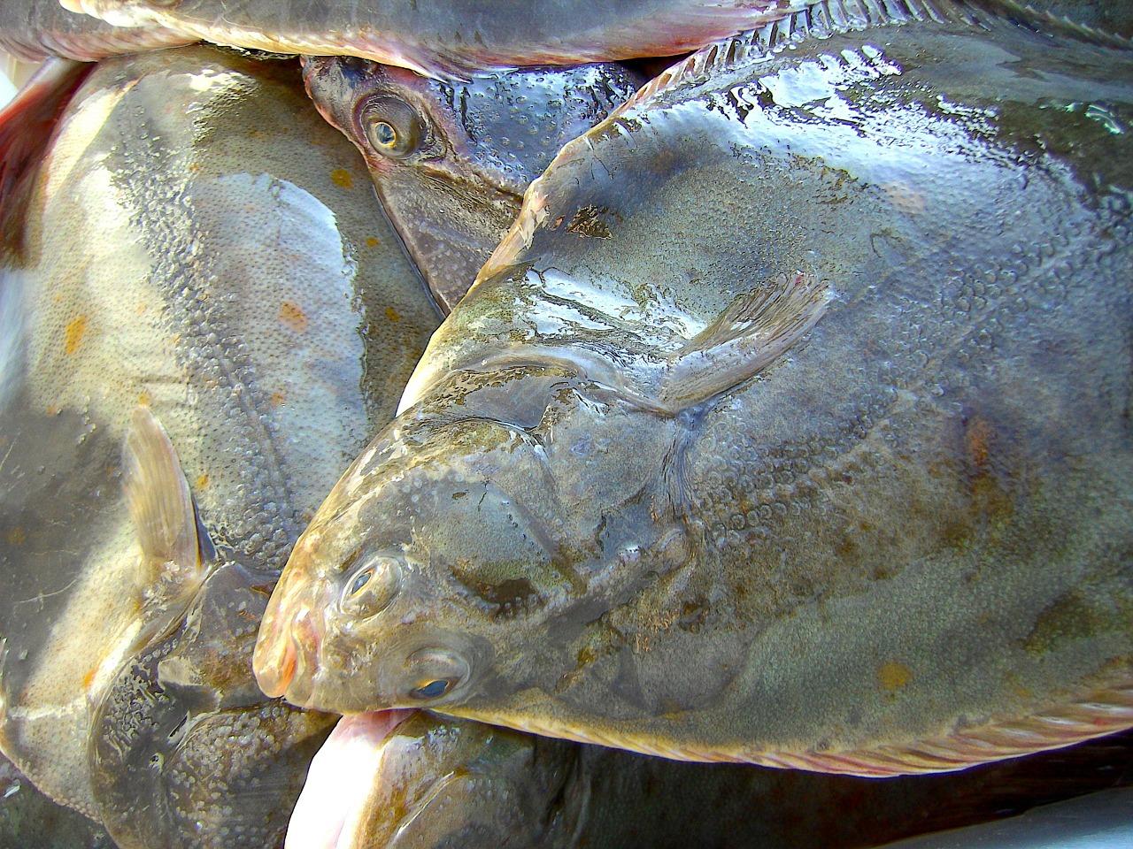 Lexikon: Fische - Fischarten in der Ostsee
